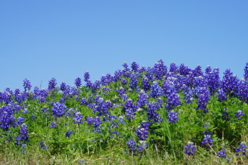 Close up of Bluebonnet wildflowers near the Texas Hill Country during spring time against a clear blue sky background