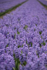 Purple hyacints in  a field in the area of Lisse close to the Keukenhof, famous about the colorful fields during spring in the Netherlands