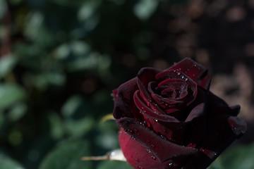 Beautiful colorful Rose Flower