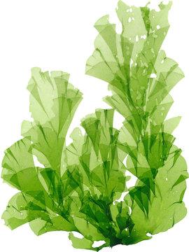 海藻 アナアオサ