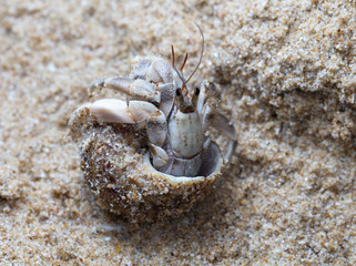 small hermit crab
