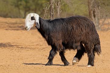 Arabian Nadji - domestic sheep breed of the Najd region of the Arabian Peninsula.