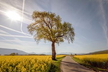 Isolated tree near a road