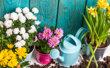 Picture of colorful chrysanthemums in pots near wooden fence