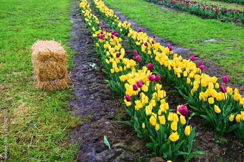 coltivazione di tulipani in diverse tonalità di colore  Stock photo ...