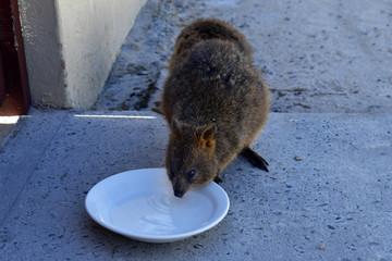 Australia, Rottnest Island, Quokka