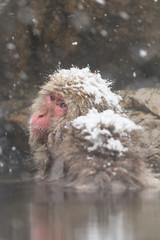 Jigokudani Monkey Park , monkeys bathing in a natural hot spring at Nagano , Japan