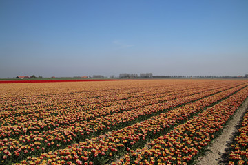 Red and red-yellow tulips in a row on a flower field in Oude-Tonge in the Netherlands