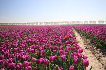 """purple tulips type 'Purple flag"""" in sunlight in rows in a long flower field in Oude-Tonge on the island Goeree Overflakkee in the Netherlands"""