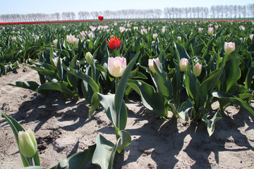 red tulip lost in row of white tulips in sunlight in rows in a long flower field in Oude-Tonge on the island Goeree Overflakkee in the Netherlands