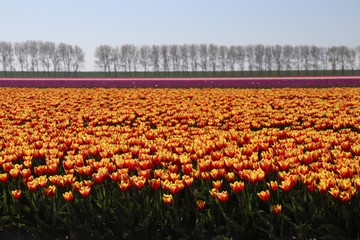 yellow red tulips in rows in a long flower field in Oude-Tonge on the island Goeree Overflakkee in the Netherlands
