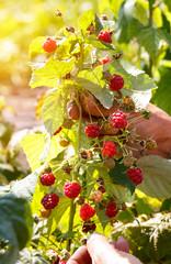 Freshly picked red raspberry.