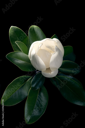 Magnolia Tree Opening A Huge Bud Isolated On A Black Background