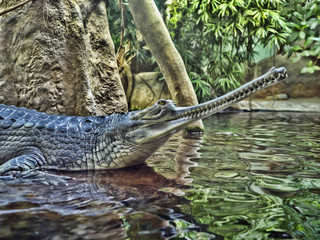 Gharial, Gavialis gangeticus, stands out with a very long jaw