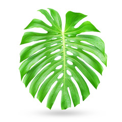 Green Monstera leaves on white background