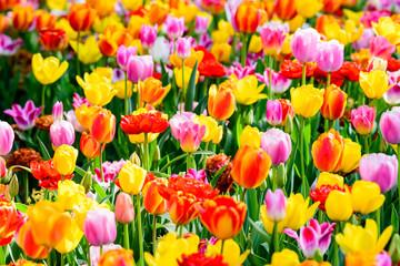 チューリップ畑  Tulip
