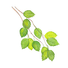 watercolor birch twig