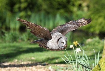 Close up of a Great Grey Owl flying through woodland