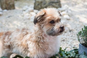 Shorky, ShiTzu Yorkshire Terrier Mischling aufmerksam im Garten
