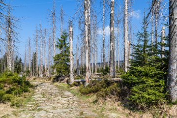 Borkenkäferbefall (Scolytinae) im Harz