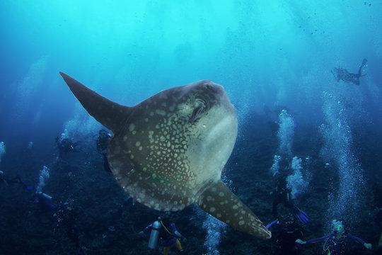 An Ocean Sunfish (Mola Mola) amongst scuba divers