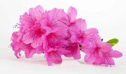 Spoed Fotobehang Azalea Isolated pink spring azaleas blooms.