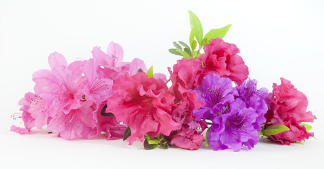 In de dag Azalea Isolated pink, red, and purple spring azalea blooms.