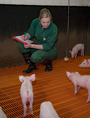 Artgerechte Schweinehaltung - junge Landwirtin dokumentiert Gesundheitszustand der Ferkel
