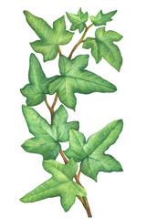 Green branch Hedera nepalensis (Hedera helix) commonly called ivy. Floral botanical picture. Hand drawn watercolor painting illustration isolated on white background.