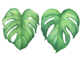 Set of green tropical jungle leaves of Monstera Deliciosa (Swiss Cheese plant, Mexican breadfruit, monstereo). Hand drawn watercolor painting illustration isolated on white background.