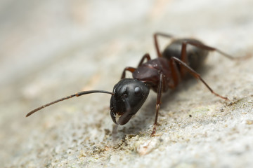 Carpenter ant, Camponotus on wood