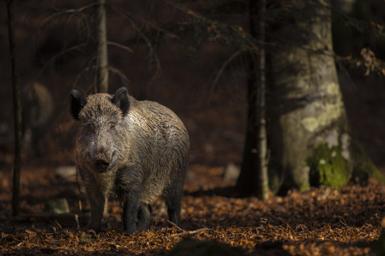 Close up of a large wild boar Sus scrofa swine calm woman walking and search using snout looking food in the dark wood. Wildlife tranquil scene with long furry animal. Strong mammal of visible power.