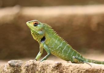 Lizard sitting on stairs in Sri Lanka