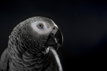 Close up African grey parrot (Psittacus erithacus) head portrait during concentrating on speak by clever repeating talk. Face scene of intelligent gray bird on blank black background with empty space.