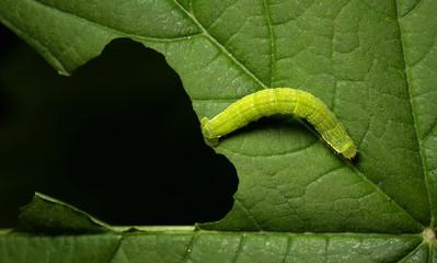 Bruco verde mangia foglie