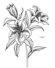 Lily flower drawing illustration.