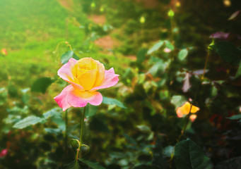 Roses, Focus on pink roses in the front garden, Blur the dark green background, Retro style