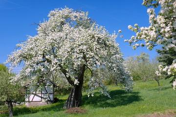 Birnbaum, Birnbaumblüte
