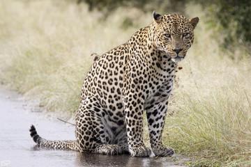 Kruger Leopard Lower Sabie