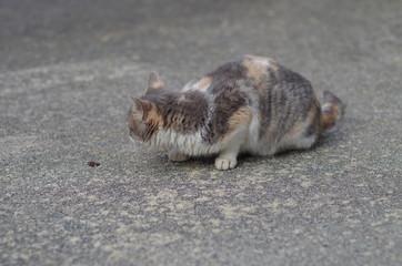 匍匐前進する三毛猫