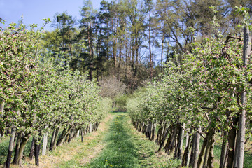 Apple tree orchard with grass path, Czech landscape
