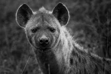 Photo sur Plexiglas Hyène Hyena - Monochrome