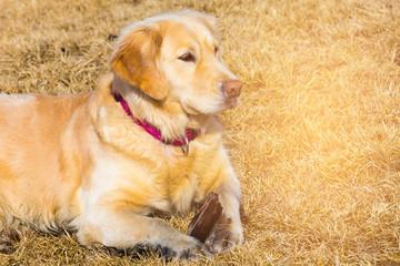Golden retriever over dry glass, cute pet