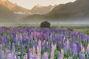 Lupine purple flower with mountain background during morning, New Zealand natural landscape
