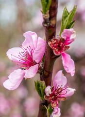 Prunus persica Blüte