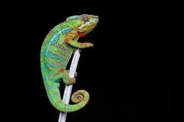Photo sur Plexiglas Cameleon alive chameleon reptile