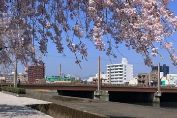 鏡川 堤防のしだれ桜 高知市