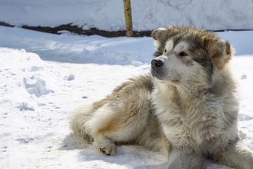 Big mongrel dog lies on the snow