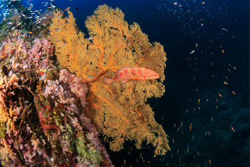 Colorful Coral Grouper next to a large seafan on a tropical coral reef