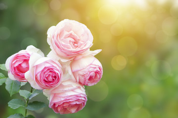 A photo of english climbing pink pale rose bush, summer garden. Rose shrub in the park. Sunshine beams, bokeh with selective soft focus. Place for text, copy space. Valentines or birthday background.